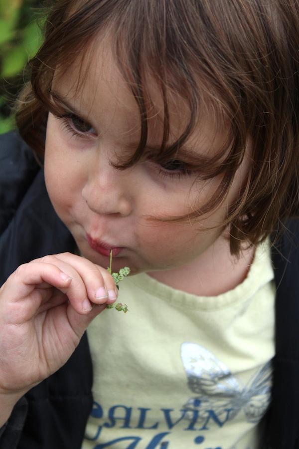 Goosefoot Cauliflower (green goosefoot seed head)
