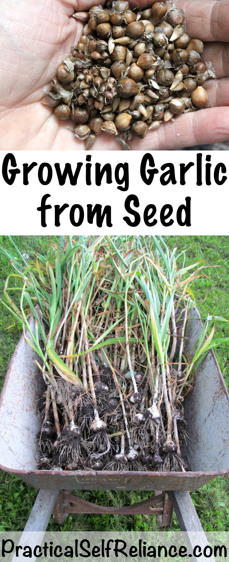 Growing Garlic from Seed ~ True Garlic Seed (bulbils)