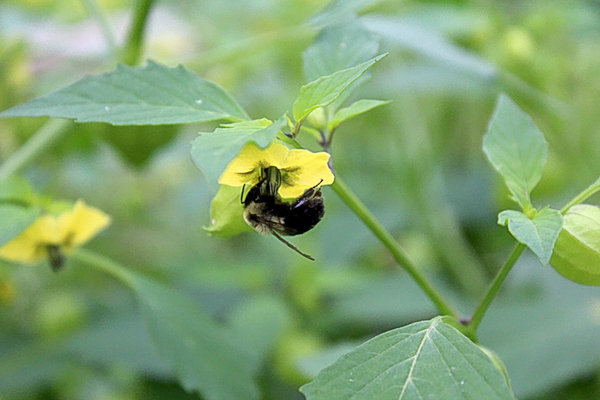 Bumble bee tomatillo pollinator ~ tomatillos require insect pollination