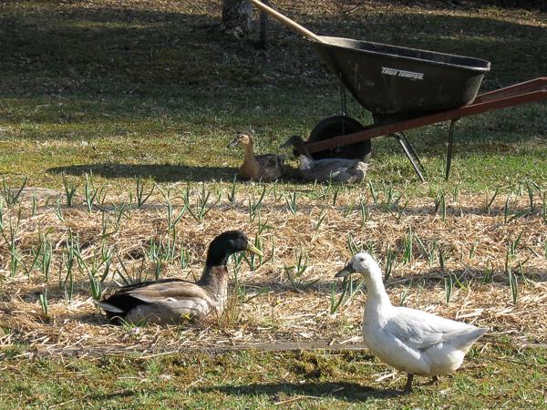 Ducks roaming on a suburban farm