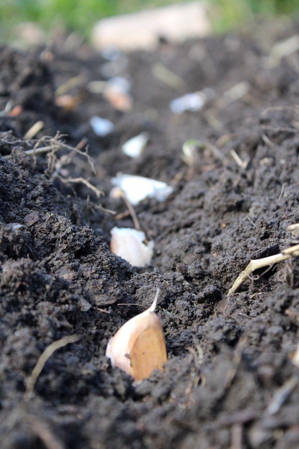 Planting Garlic in the Fall