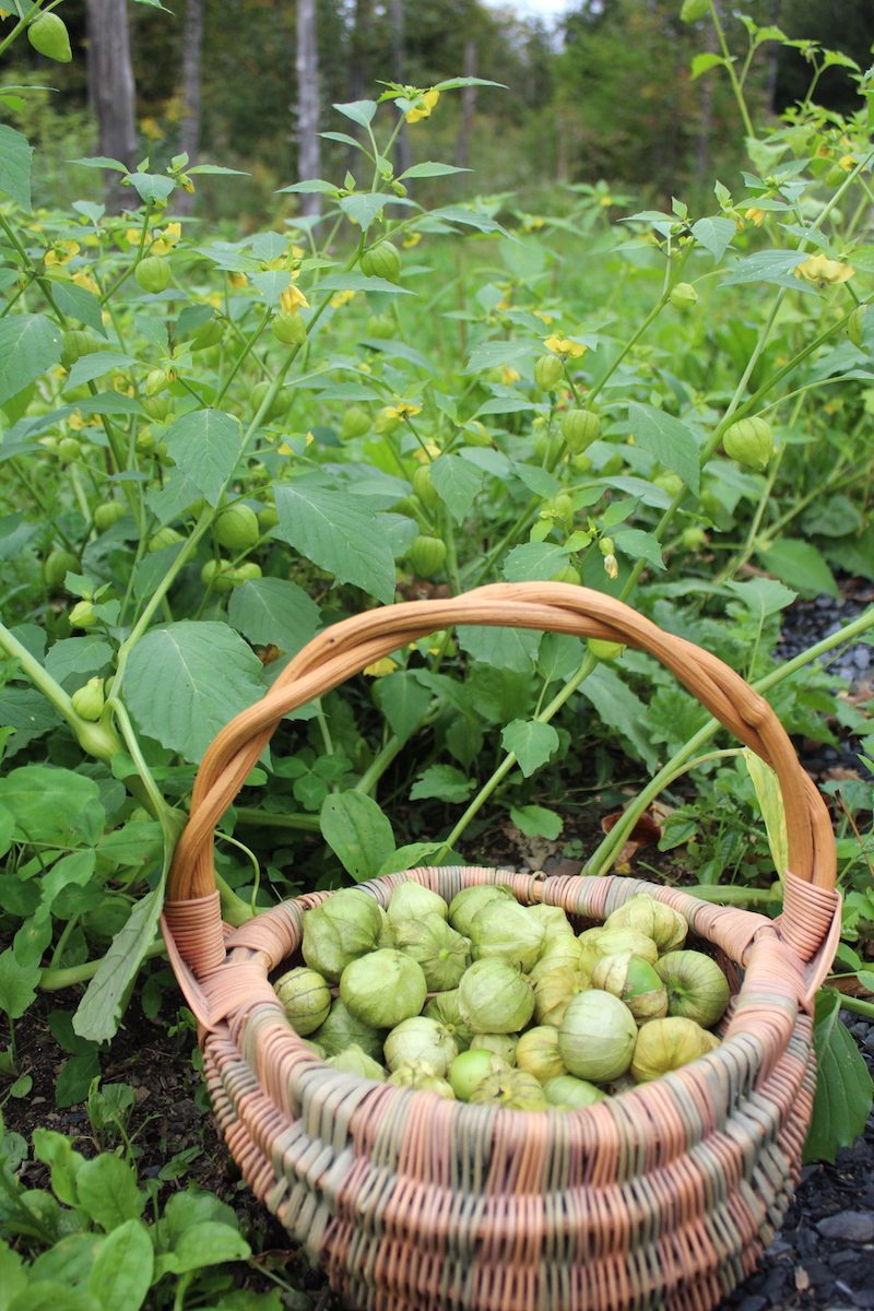 Volunteer Tomatillo Plants