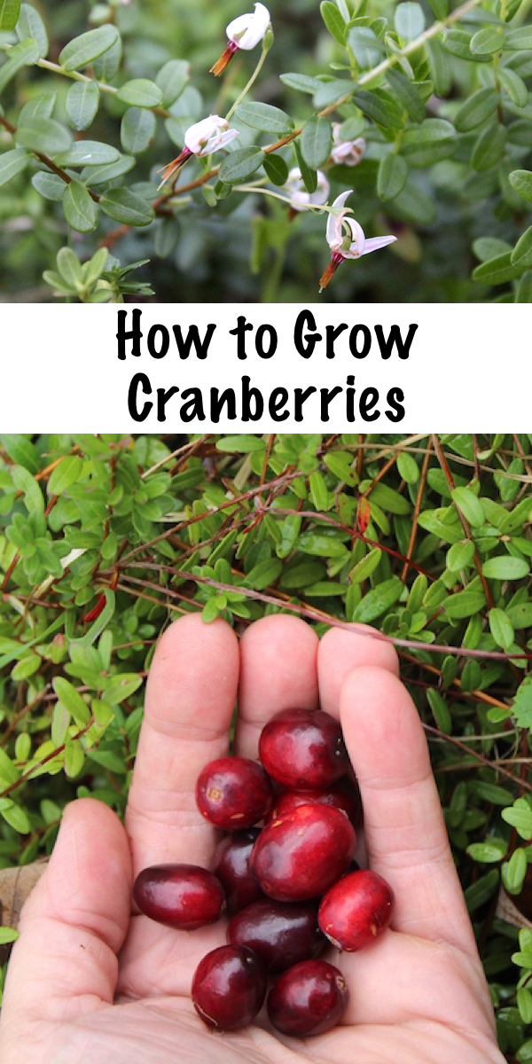 How to grow cranberries. Grow your own perennial cranberry bushes right in your back yard.  Plant once and harvest homegrown cranberries for many years to come. #gardening #permaculture #cranberry #perennial #homesteading #cranberries #howtogrow #orchard #homesteading #selfsufficiency #gardeningtips