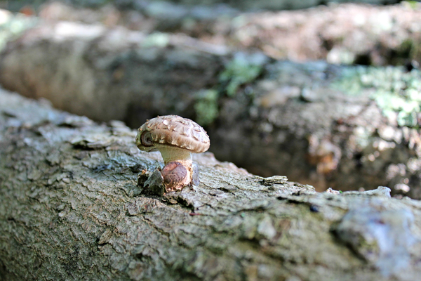 Our very first shiitake mushroom growing out of a sugar maple log.