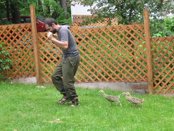 Goslings following man