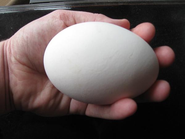 half pound goose egg