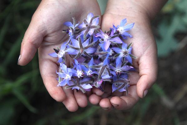Borage flowers in hands