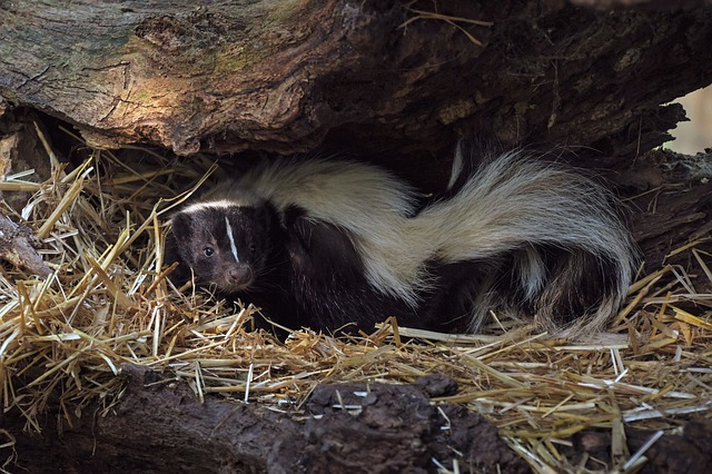 Wood ashes are a natural skunk odor remover