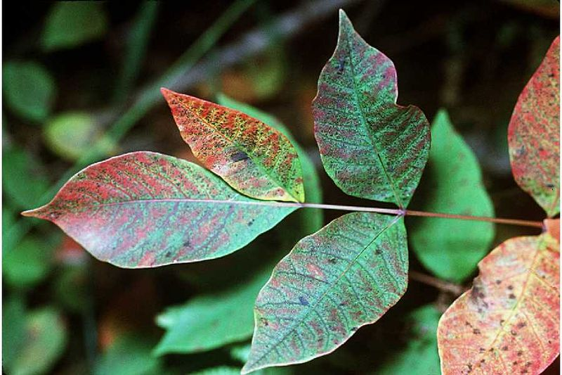Leaves of Poison sumac (Toxicodendron vernix) have smooth edges rather than serrations like staghorn sumac.