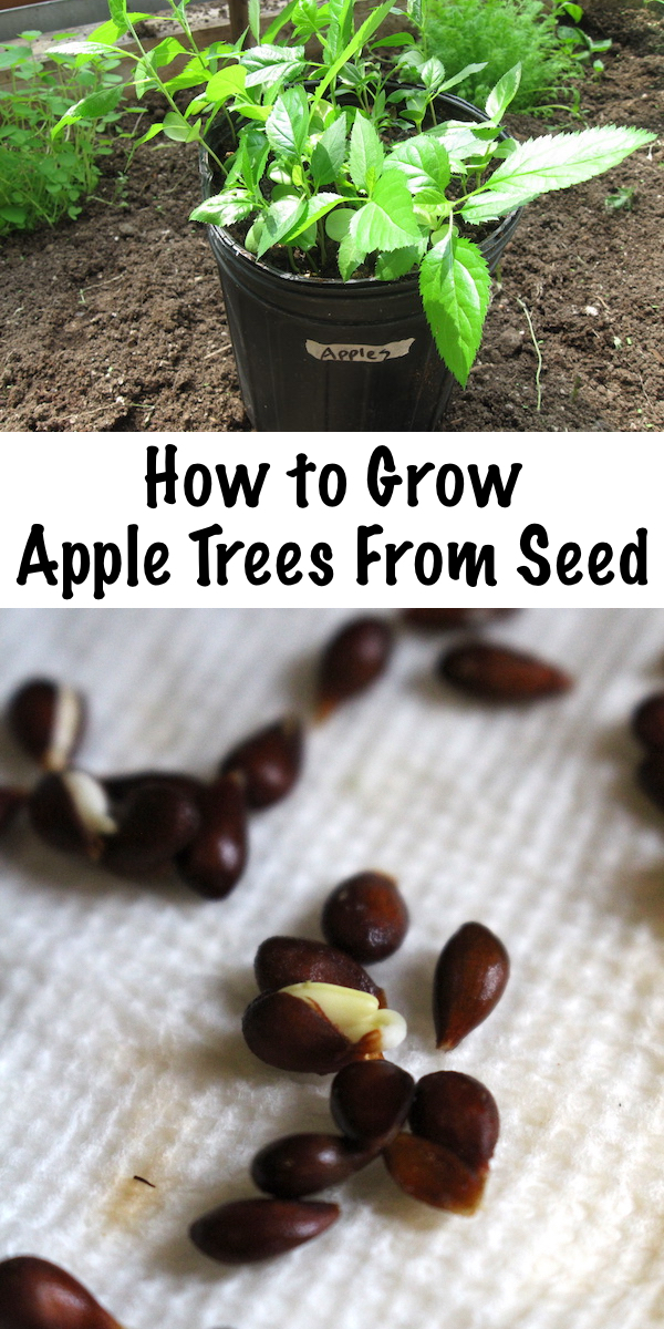Growing Apple Trees from Seed ~ Growing apple trees from seed is easy, if you know the trick to breaking apple seed dormancy before planting. #appletrees #permaculture #orchard #selfsufficiency #howtogrow #homesteading