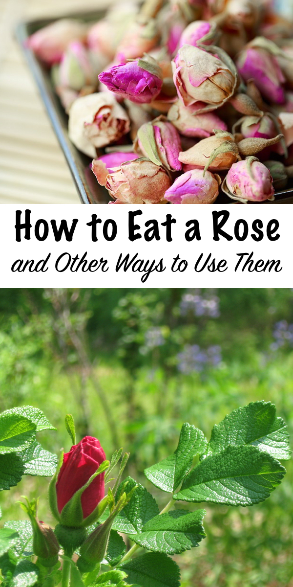 How to Eat a Rose ~ and other ways to use them ~ Roses are not only edible, they're medicinal too. They taste great in everything from drinks to dessert, and homemade rose body products are great for the skin too! #roses #edibleflowers #uses #recipes #skincare #natural #medicinal