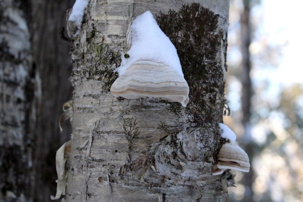 Fomes fomentarius on a birch tree in winter