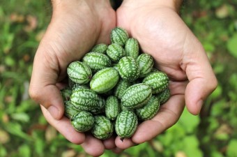 Harvested from a cucamelon plant, these miniature melons are actually a tiny cucumber relative