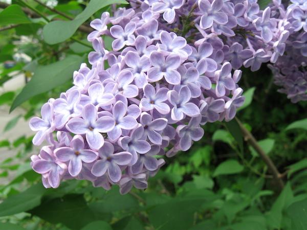 Edible Lilac