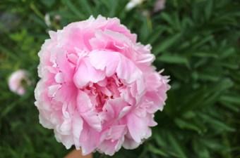 Edible peony blossoms