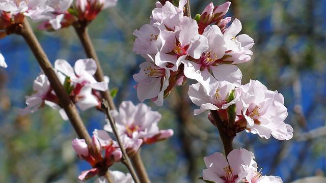 Nanking Cherry Blossoms