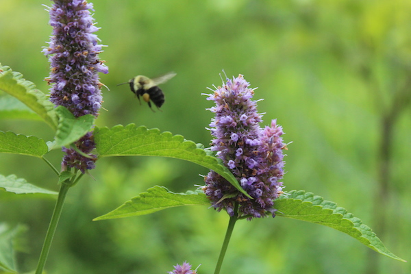 Edible Anise hyssop flowers visited by bumble bees