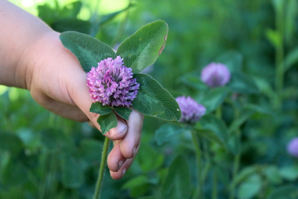 Edible Flowers of Red Clover during harvest