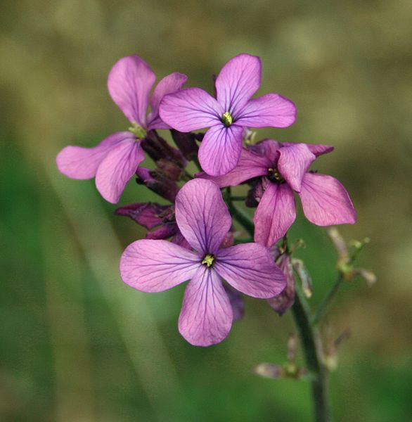 Dame's Rocket (Hesperis matronalis) Edible Flowers
