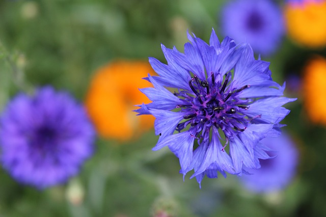 Bachelors buttons or cornflowers are beautiful edible flowers