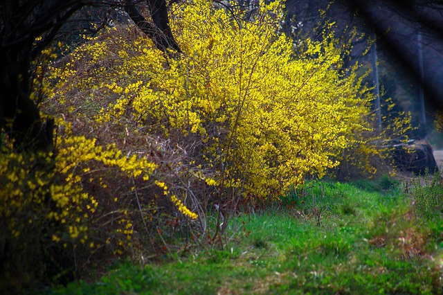 forsythia bush in bloom, covered with edible flowers in early spring