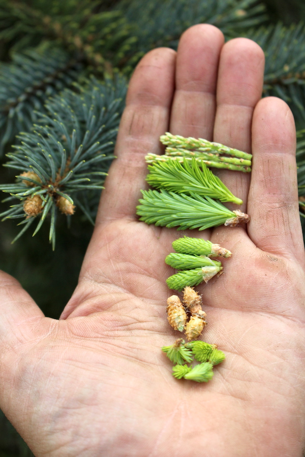 Various conifer tips