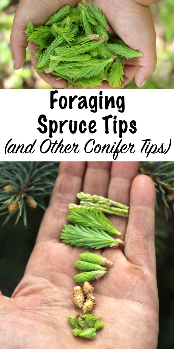 Foraging Spruce Tips and Other Conifer Tips ~ Spruce tips have a bright, citrus flavor that works well in both savory and sweet dishes. Almost all conifer tips are edible, and the only exception is yew trees. Pine and fir tips have their own unique taste, and as an added bonus, all conifer tips have medicinal properties. #sprucetips #foraging #uses #conifer #edible