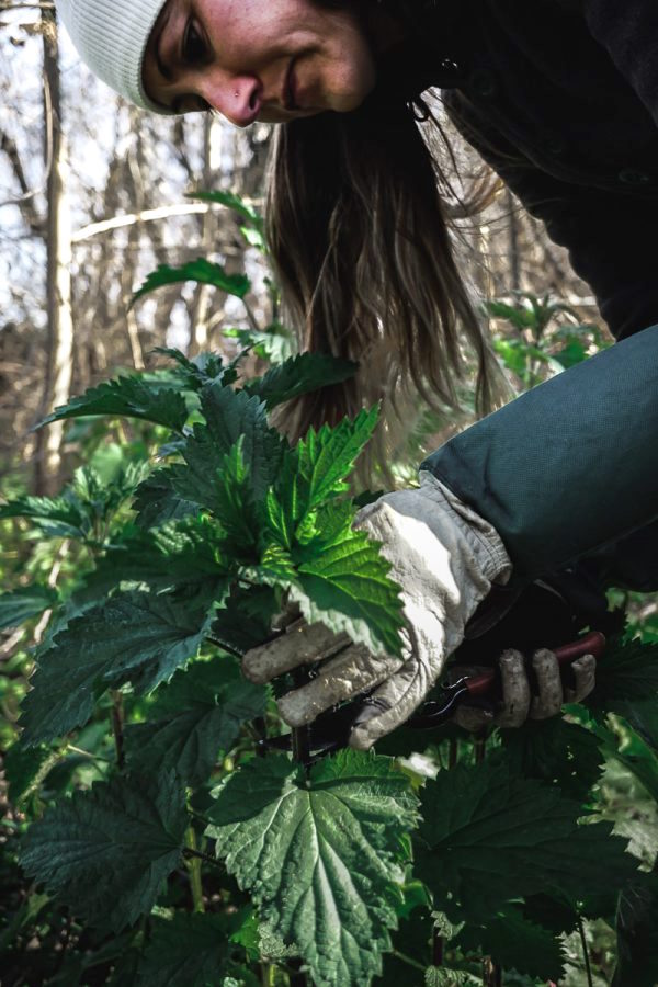 Woman cuts stinging nettle tops while wearing gloves