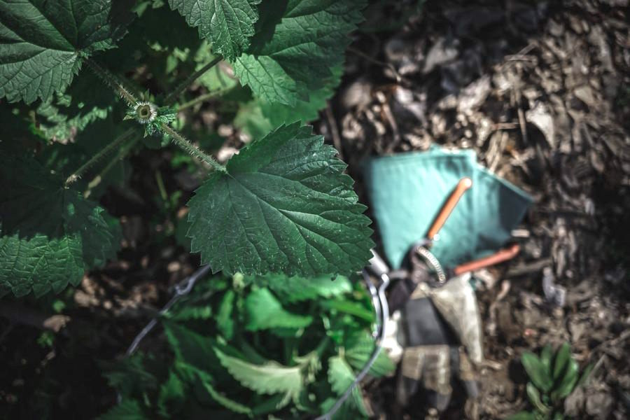 top cut off a stinging nettle plant shows that the stem is hallow