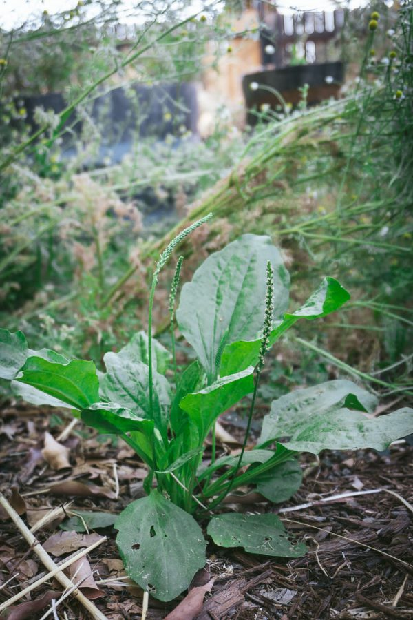 Foraging Wild Plantain Plants
