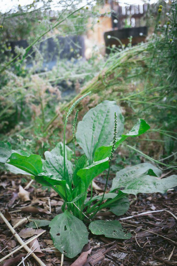 Foraging Wild Plantain Plants