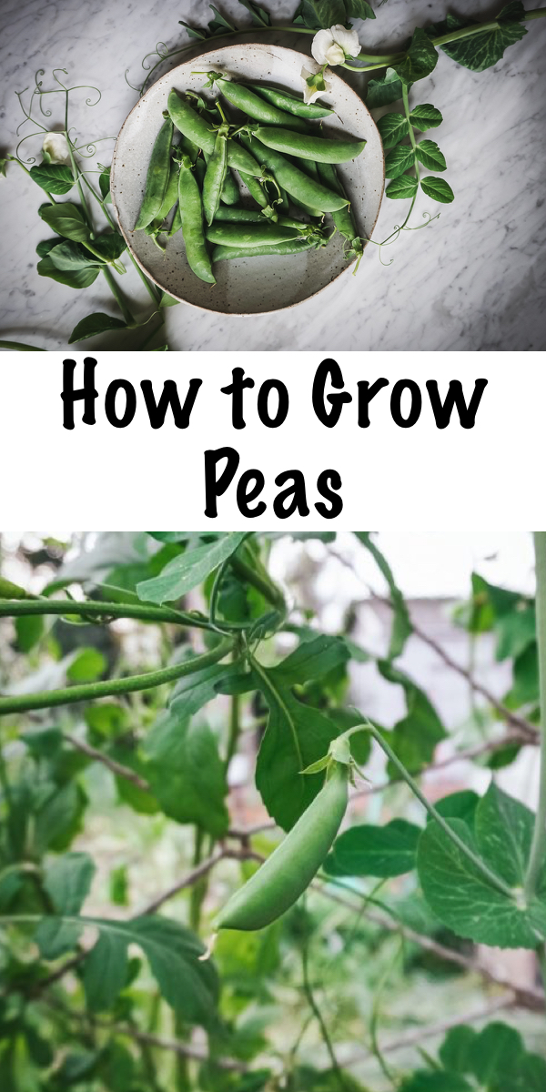 How to Grow Peas ~ The complete guide to all things snow, snap and garden peas! Learn how to grow peas, plus how to harvest peas, store fresh peas, ways to eat fresh peas, and, save pea seeds! #peas #growingpeas #gardening #organicgardening #foodgardening #howtogrow #vegetablegardening #gardeningtips #homesteading #homestead #selfreliant