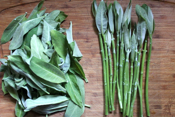 Preparing milkweed shoots and leaves for cooking
