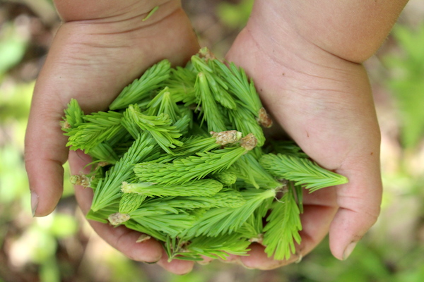 Handful of fir tips...mostly indistinguishable from spruce tips at this stage.