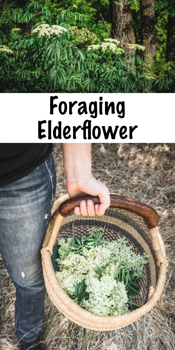 Foraging Elderflower ~ Learn how to identify elderflower and forage for this beautiful edible flower, plus ideas on how to use this fragrant and medicinal early summer blossom! #elderberry #flower #forage #uses #benefits