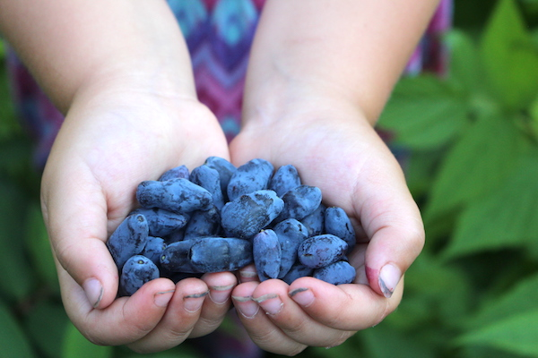 Child holds fresh honeyberries (haskap berries) in two hands