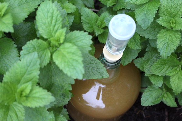 Homemade lemon balm mead in a patch of lemon balm in the herb garden
