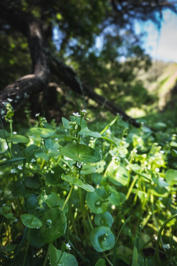 Patch of wild Miner's Lettuce