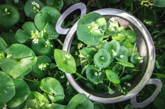 Basket of Wild Foraged Miner's Lettuce