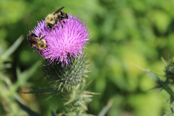 bee and bull thistle flower