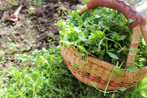 A basket of wild foraged chickweed, yet another tasty edible weed that's perfect fresh from the garden