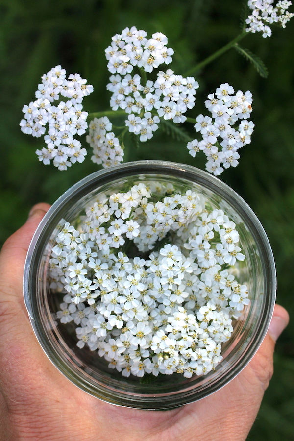 Harvesting Flowering Tops for Yarrow Tincture