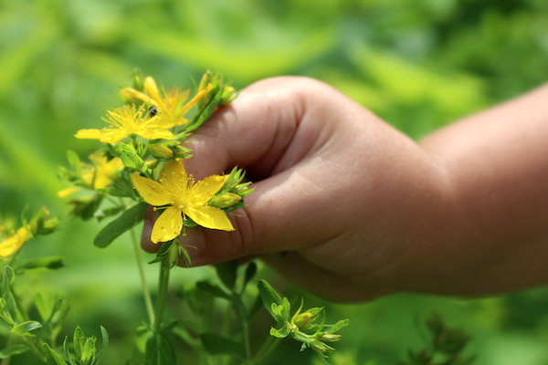 Harvesting St. Johns Wort Plant in the Wild