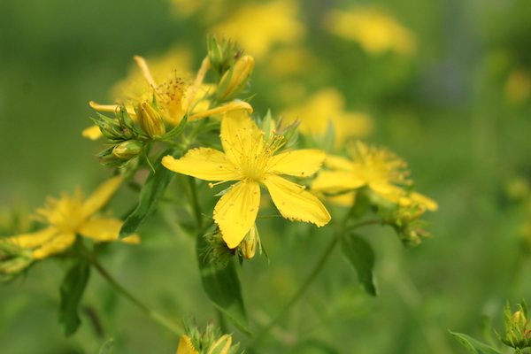 Bright Yellow blossoms with 5 petals on a Saint Johns Wort Plant