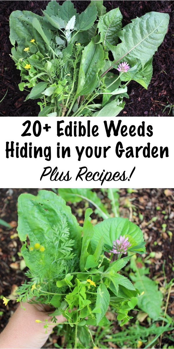 20+ Edible Weeds in Your Garden (and how to use them) ~ Harvesting is a lot more fun than weeding, so why not harvest the edible weeds growing right in your own garden? There are so many nutritious edible and medicinal weeds just waiting to be discovered. Start with this list of edible weeds and expand your horizons! #foraging #edibleweeds #wildcrafting #gardening