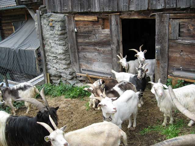 Goats in a simple shelter