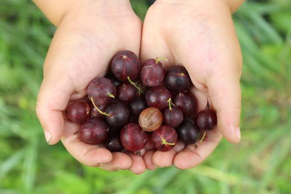 Red Gooseberry Fruit