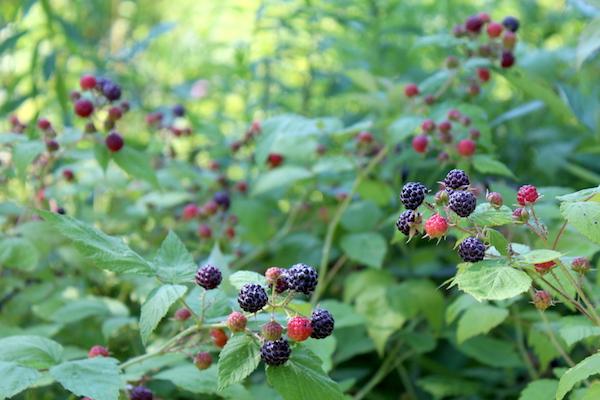 Wild Black Raspberry Bushes