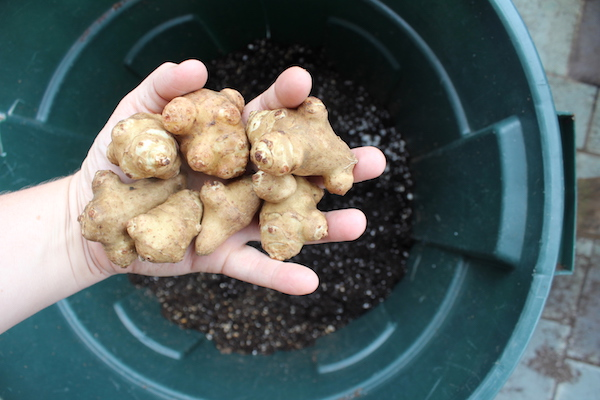 Planting sunchokes in a trashcan to keep them contained.