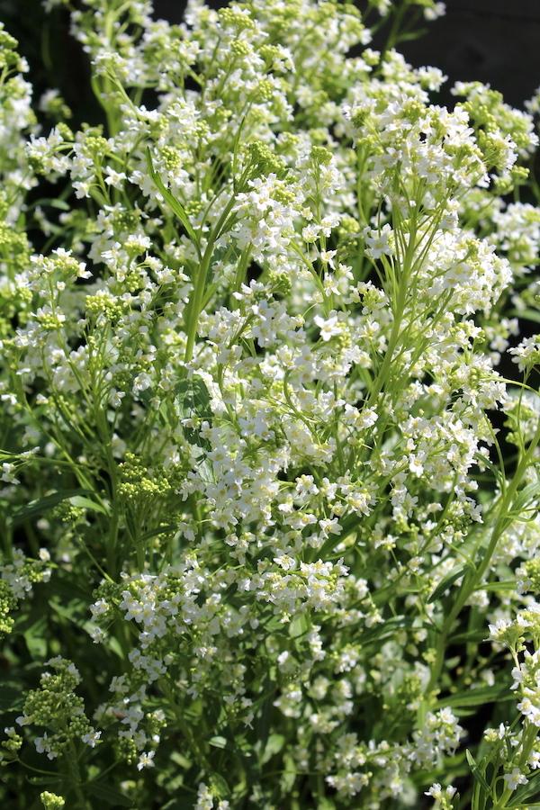 Horseradish Plant in Flower